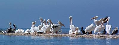 Photograph - Birds Pelicans Of Cedar Key by William OBrien