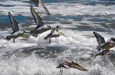 Photograph - Birds Shore Birds Escape The Waves by William OBrien