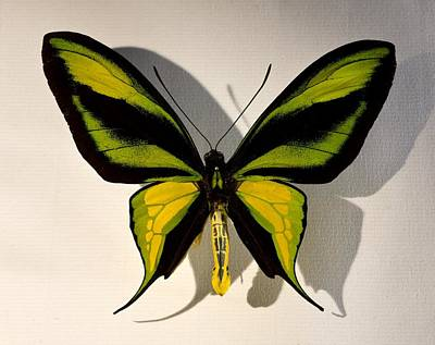 Birdwing Butterfly Ornithoptera Paradisea Art Print
