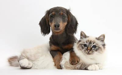 Photograph - Birman Cat And Dachshund by Mark Taylor