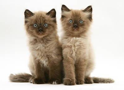 Photograph - Birman-cross Kittens by Jane Burton