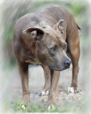 Staffordshire Bull Terrier Digital Art - Bishop by Kim Garcia