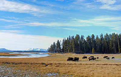 Yellowstone Photograph - Bison Along Yellowstone River by Twenty Two North Photography