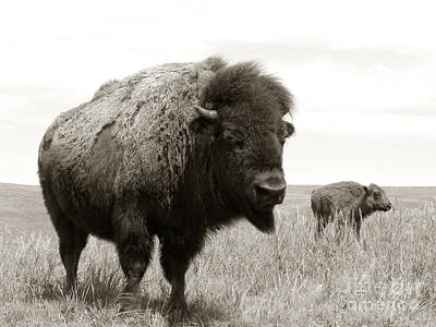 Roaming Photograph - Bison And Calf by Olivier Le Queinec