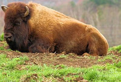 Photograph - Bison At Rest by Adam Jewell