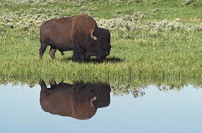 Bison Bison Bison On Grassy Meadow With Art Print by David Ponton