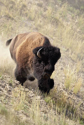 Bufffalo Photograph - Bison Bull by D Robert Franz