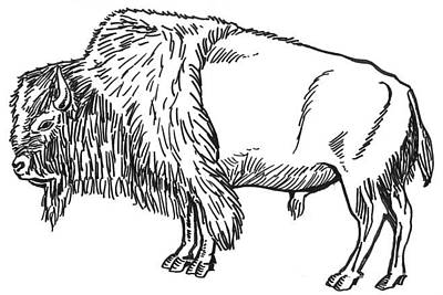 Drawing - Bison by David Burkart