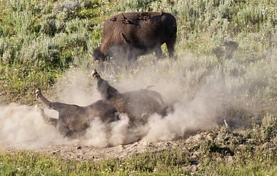 Bison Dust Bath Original by Paul Cannon