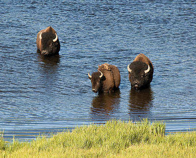 Bison Enjoying The Water Original by Paul Cannon