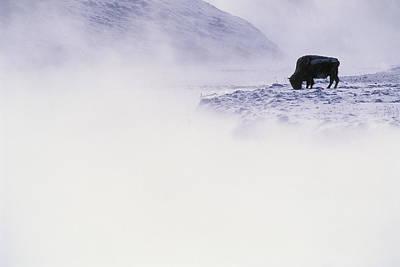 Bison Grazing In Winter Art Print by Bobby Model
