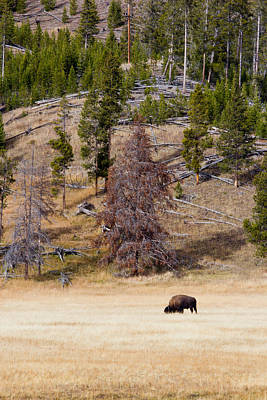 Bison Grazing In Yellowstone Art Print by Twenty Two North Photography