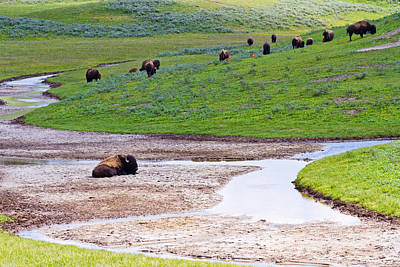Photograph - Bison In Hayden Valley by Adam Pender