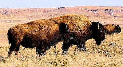 Photograph - Bison In Kansas by Cheryl Poland
