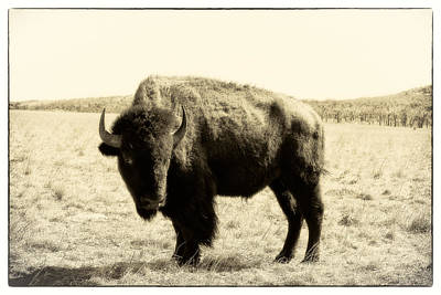 Photograph - Bison In Sepia - Right View by Tony Grider