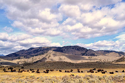 Photograph - Bison  by Kelly Reber