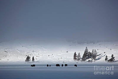Photograph - Bison On Snowy Plains by Greg Dimijian