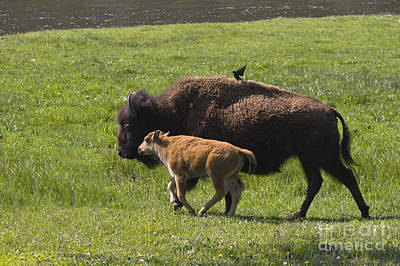 Photograph - Bison With Calf - Yellowstone by Craig Lovell