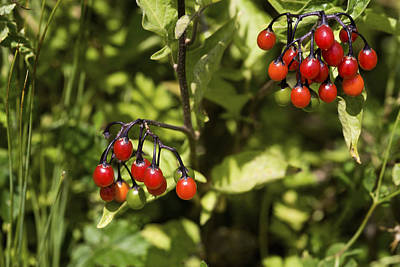 Bittersweet Photograph - Bittersweet Berries (solanum Dulcamara) by Dr Keith Wheeler