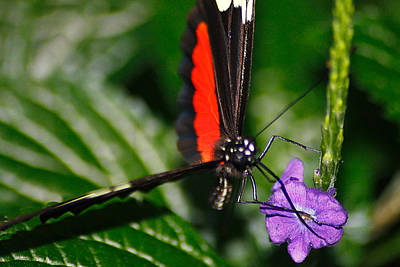 Photograph - Black And Red Butterfly On A Purple Flower by Scott Hovind