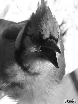 Photograph - Black And White Blue Jay by Alana  Schmitt