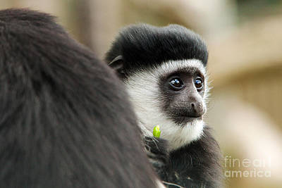 Black And White Colubus Monkey Print by Pete Reynolds