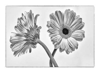 Photograph - Black And White Gerbers by Peg Runyan