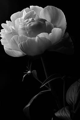 Photograph - Black And White Peony by Scott Hovind
