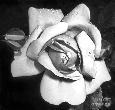 Black And White Rose Art Print by Tina Ann Byers