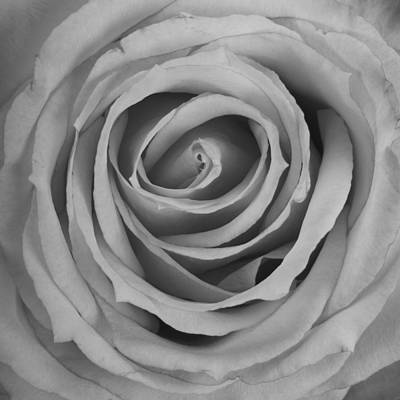 Black And White Spiral Rose Petals Art Print by James BO  Insogna