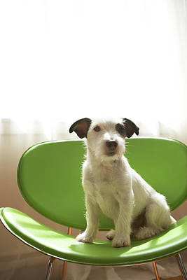 Black And White Terrier Dog Sitting On Green Chair By Window Art Print by Chris Amaral
