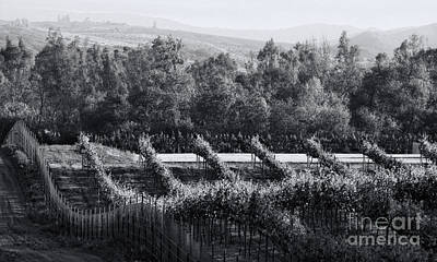 Photograph - Black And White Vineyard Sunrise  by Sherry  Curry