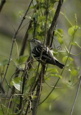 Photograph - Black And White Warbler by Christopher Kirby