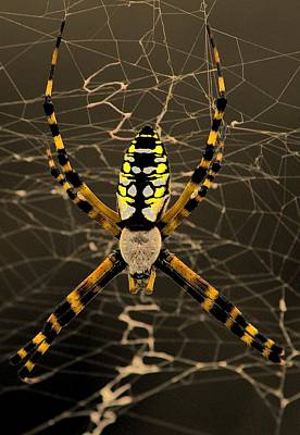 Photograph - Black And Yellow Garden Spider by Ira Runyan
