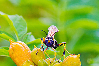 Photograph - Black And Yellow Mud Dauber by Barry Jones