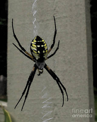 Photograph - Black And Yellow Spider by Patricia Januszkiewicz