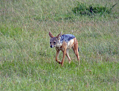 Photograph - Black Backed Jackal by Tony Murtagh