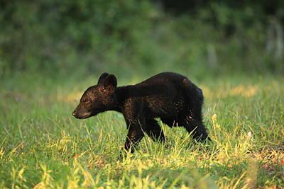 Art Print featuring the photograph Black Bear Cub  by Doug McPherson