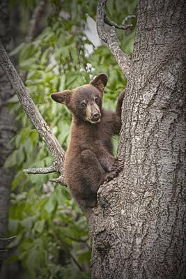 Black Bear Cub Hanging On Art Print by Randall Nyhof