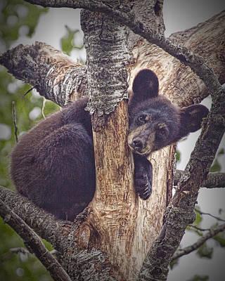 Black Bear Cub No 3224 Art Print by Randall Nyhof