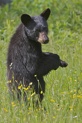 Photograph - Black Bear by Dale J Martin