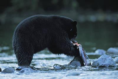 Black Bear Eating Salmon Art Print by Joel Sartore