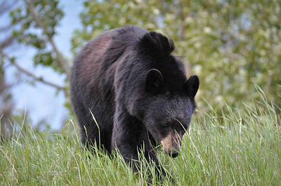 Photograph - Black Bear Going To The Sun by Ronda Broatch