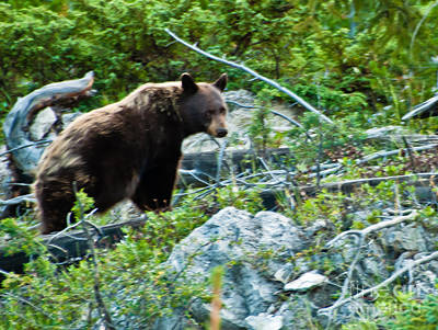Photograph - Black Bear by Harry Strharsky