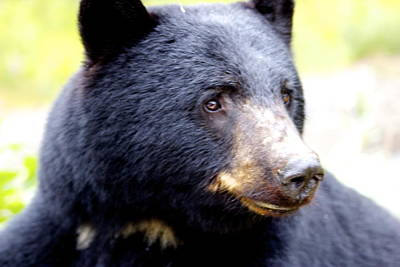 Photograph - Black Bear by Sylvia Hart