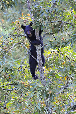 Photograph - Black Bear With Nut In Hickory Tree by Alan Lenk