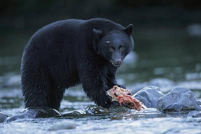 Black Bear With Salmon Carcass Art Print by Joel Sartore