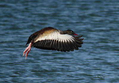 Photograph - Black-belled Whistling-duck In Flight by Roena King