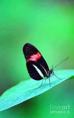 Royalty-Free and Rights-Managed Images - Black Butterfly by Randy Harris