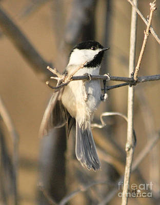 Photograph - Black-capped Chickadee Hang In Their by Ronald Grogan